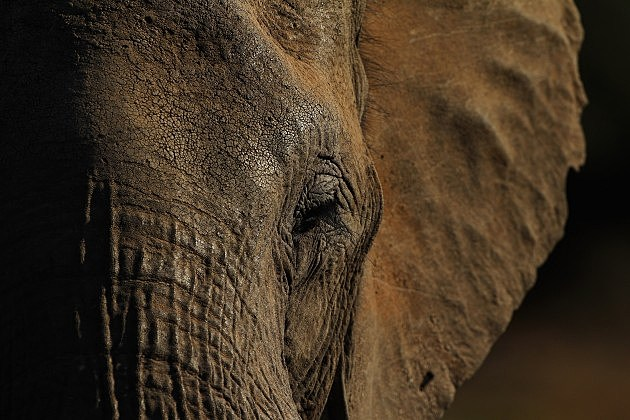 An African Safari elephant